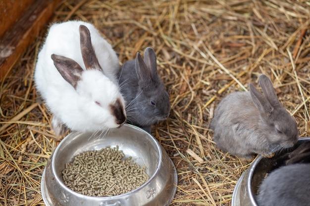 Piccoli conigli soffici nella penna stanno mangiando cibo da una tazza. c'è una lettiera di fieno nel recinto. i conigli sono come un animale domestico. gestione della famiglia