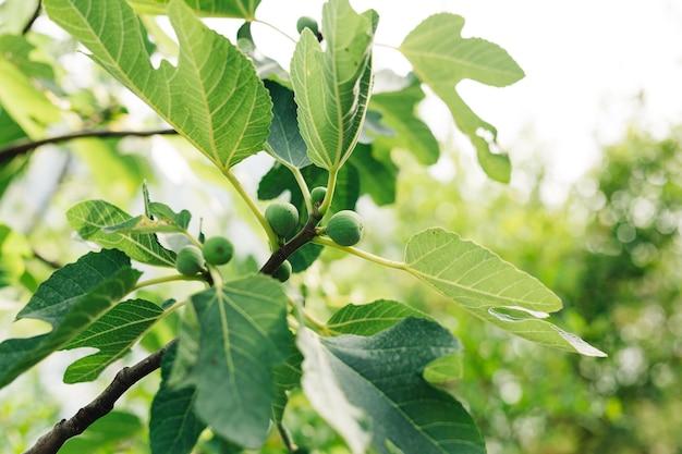 Piccoli frutti di fichi verdi su un ramo di legno tra il fogliame