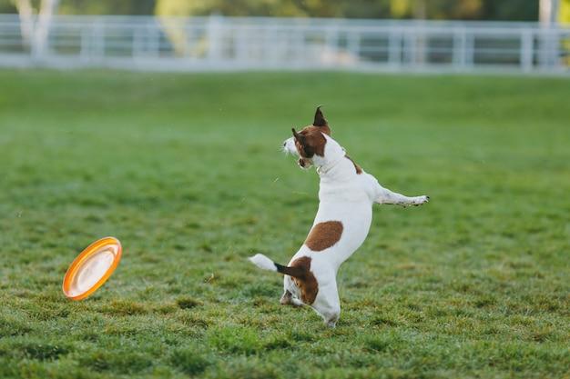 Piccolo cane divertente che cattura disco volante arancione sull'erba verde. piccolo animale domestico di jack russel terrier che gioca all'aperto nel parco. cane e giocattolo all'aria aperta.