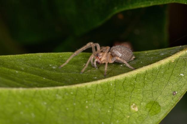 Piccolo ragno fantasma della famiglia anyphaenidae