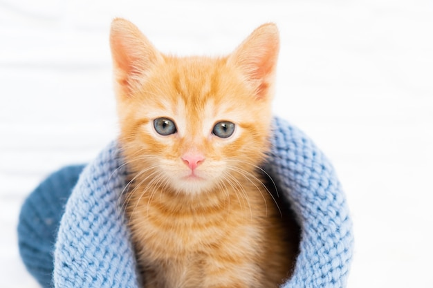 Il piccolo gattino tabby allo zenzero è seduto e guarda la telecamera con un cappello blu lavorato a maglia con copyspace