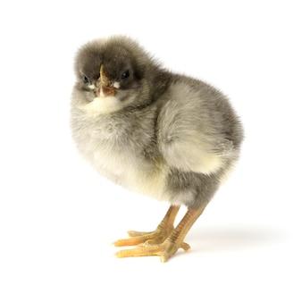 Piccolo pollo grigio isolato su bianco