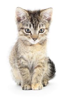 Piccolo gattino grigio su sfondo bianco