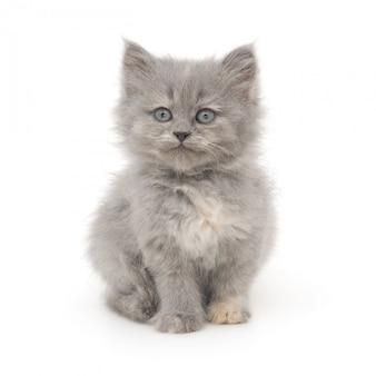 Piccolo gattino grigio su un bianco