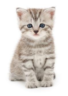 Piccolo gattino grigio