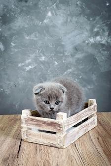 Un piccolo gattino grigio scottish fold si trova in una scatola di legno. il gattino era spaventato. vista verticale