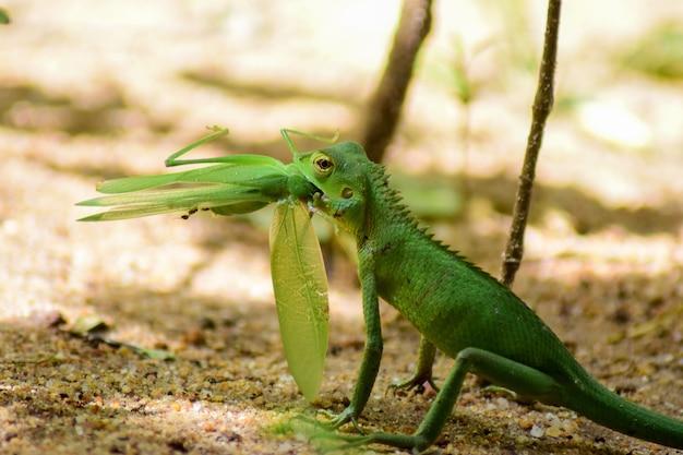 Piccola iguana verde che mangia una cavalletta su uno sfondo sfocato