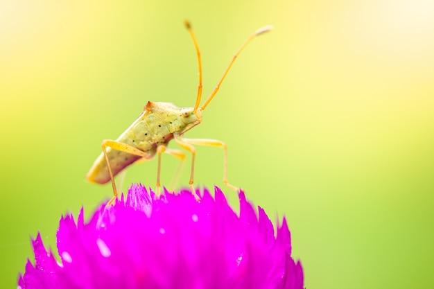 Piccolo insetto verde sui fiori viola che sbocciano in una mattina rinfrescante