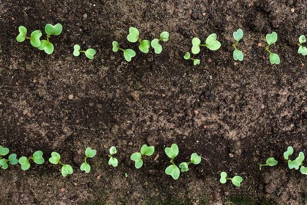 Piccola piantina di ravanello verde in crescita. piantagione all'inizio della primavera.