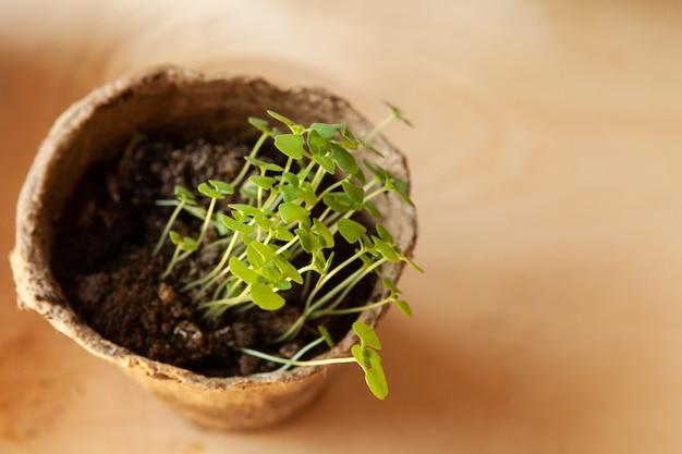 Piccoli germogli verdi in vaso da vicino