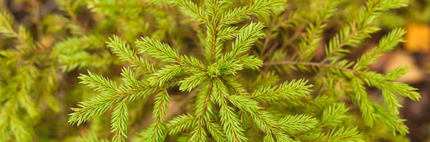 Un piccolo abete o abete sempreverde in crescita nella foresta autunnale tra le foglie cadute. primo piano, vista dall'alto. striscione