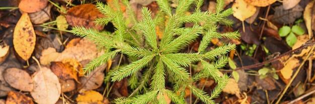 Un piccolo abete o abete sempreverde in crescita nella foresta autunnale tra le foglie cadute. vista dall'alto. striscione