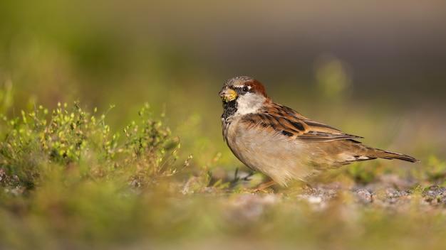 Maschio del passero della casetta che si siede su una strada della ghiaia e che si alimenta erba