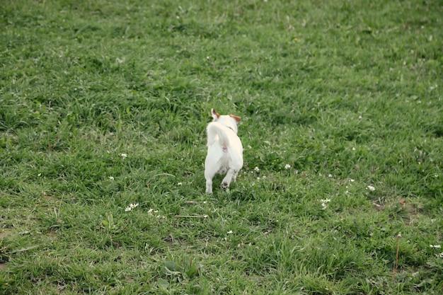 Il piccolo jack russell terrier corre sull'erba verde nel parco naturale. piccolo cane divertente bianco del terrier di jack russell che gioca sulla passeggiata in natura, all'aperto. concetto di amore per gli animali domestici. copia spazio per il sito