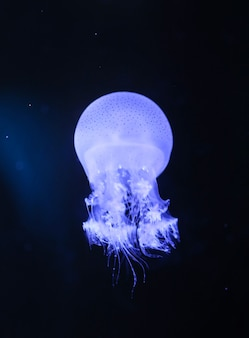 Piccole meduse o meduse di colori vivaci.