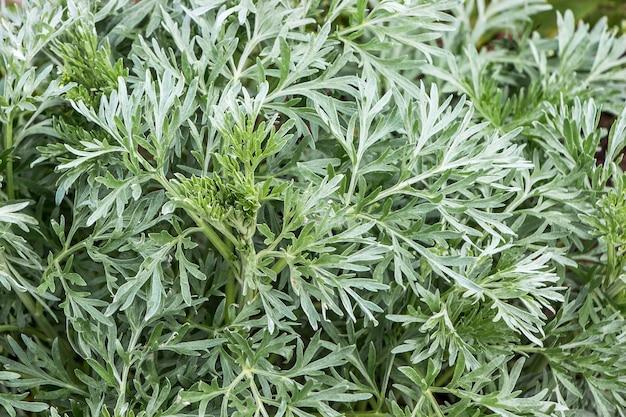 Piccole foglie di assenzio, vista dall'alto
