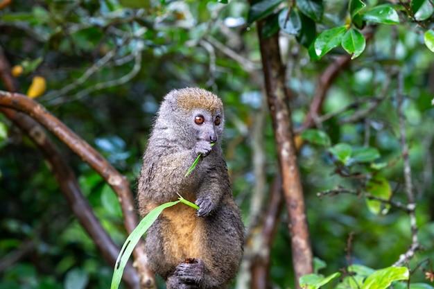 Un piccolo lemure su un ramo mangia su un filo d'erba