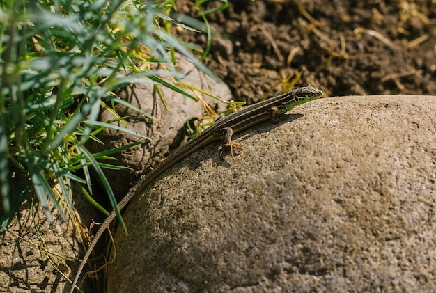 Una piccola lucertola si siede su una roccia. giorno soleggiato. la lucertola ha un colore a strisce.