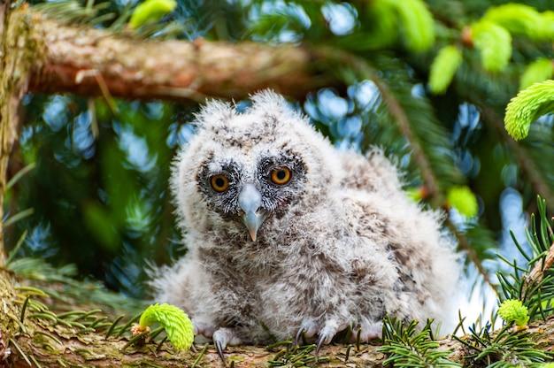 Un piccolo gufo comune si siede su un ramo di un albero nella foresta. baby gufo comune nel bosco
