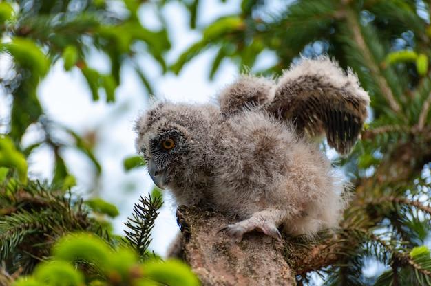 Un piccolo gufo comune si siede su un ramo di un albero nella foresta.