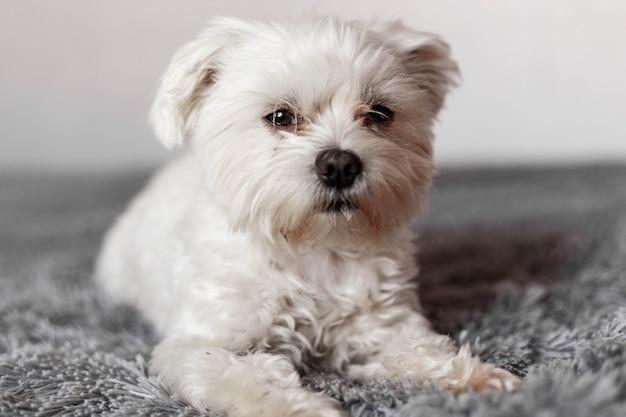 Piccolo cane maltese sdraiato sul letto