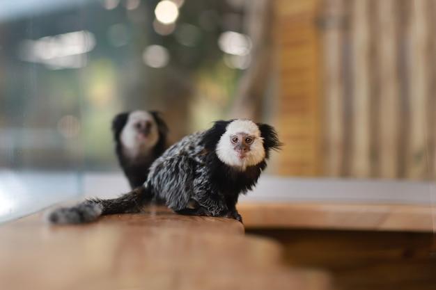 Piccole scimmie con cresta nera siedono su una superficie di legno. un cucciolo di scimmia tamarini uistitì. animali.