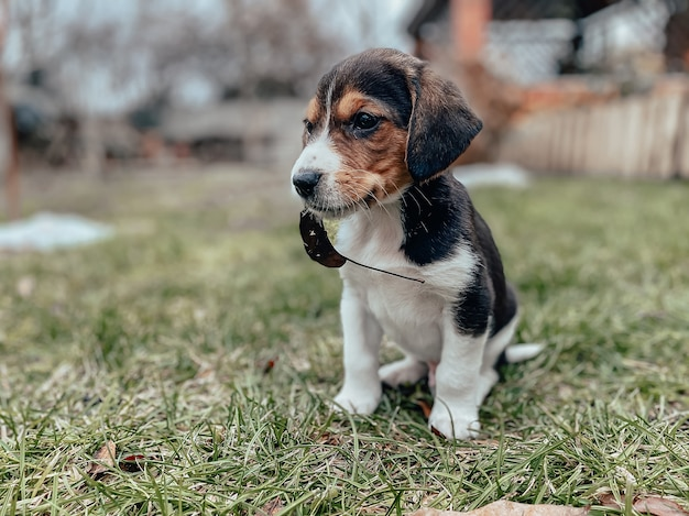 Un piccolo cucciolo di beagle di un mese siede sull'erba del prato con una foglia in bocca sullo sfondo di una casa privata e di un giardino. razze di cani, fotografia di cuccioli.