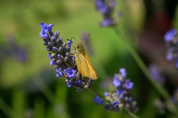 Piccola falena che riposa su un fiore di lavanda in una ripresa macro con dettagli sorprendenti.