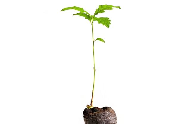 Piccola quercia che cresce da un seme nel terreno isolato su sfondo bianco
