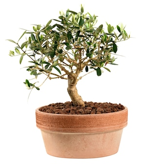 Bonsai di ulivo piccolo isolato su bianco