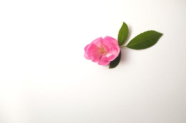 Piccola rosa rosa aperta e foglie verdi isolati su sfondo bianco.