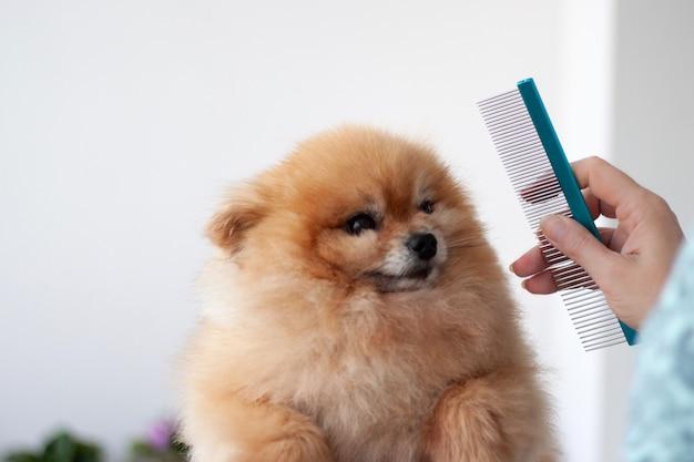 Un piccolo pomerania arancione appuntava le orecchie accanto a una mano con un pettine da parrucchiere per cani.