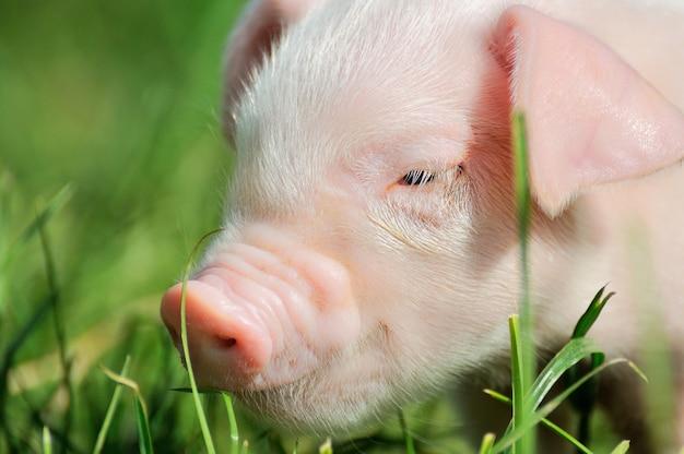 Piccolo maialino su un prato verde