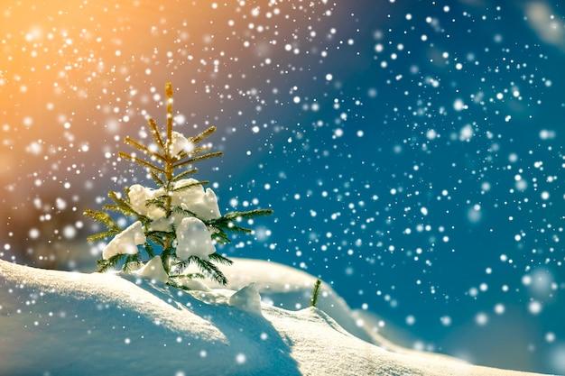 Piccolo pino con aghi verdi ricoperti di neve fresca e pulita su sfondo blu sfocato dello spazio della copia. cartolina d'auguri di buon natale e felice anno nuovo.