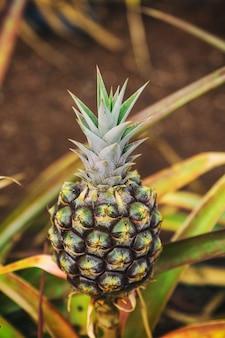 Piccolo ananas che cresce nella piantagione alle hawaii
