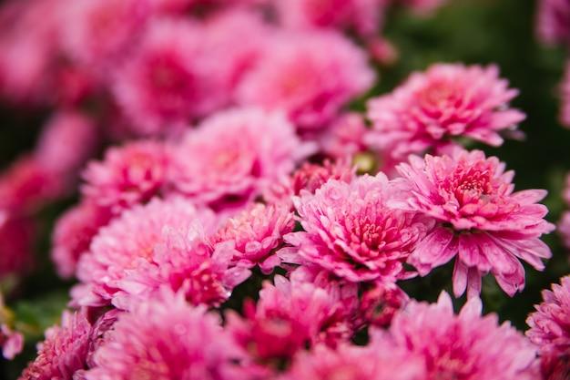 Piccoli crisantemi rosa o margherite crescono in un'aiuola come un soffice cespuglio. bellissimo sfondo autunnale. trama naturale.