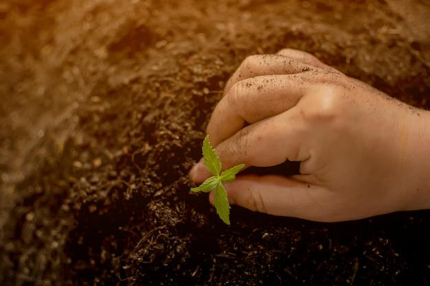 Una piccola pianta di piantine di cannabis nella fase di vegetazione piantata nel terreno un bellissimo sfondo del sole