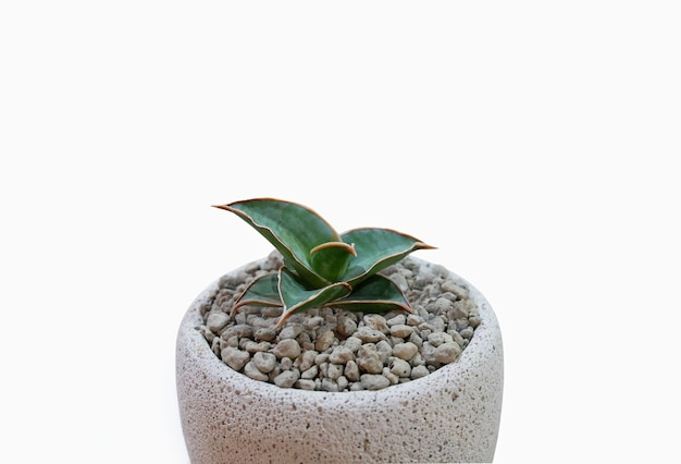 Piccola pianta in vaso succulente o cactus su bianco. Foto Premium