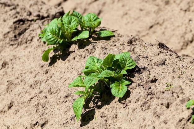 Piccole piante di patate