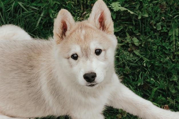Un piccolo cucciolo di caccia del husky siberiano occidentale è sdraiato sull'erba. simpatico cane da compagnia.