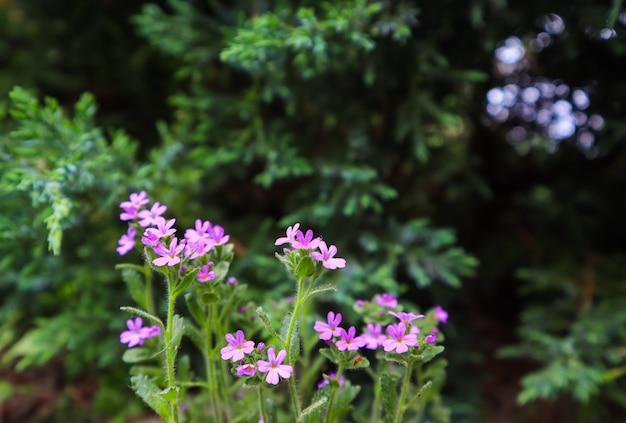 Piccoli fiori viola sullo sfondo del fiore del concetto di giardinaggio del giardino