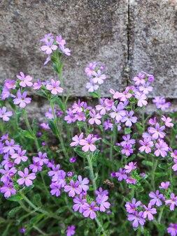 Piccoli fiori viola crescono vicino al muro dello sfondo di cemento della casa