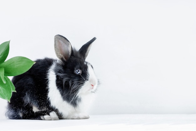 Piccolo coniglio della razza olandese di colore bianco e nero su sfondo bianco coniglietto pasquale