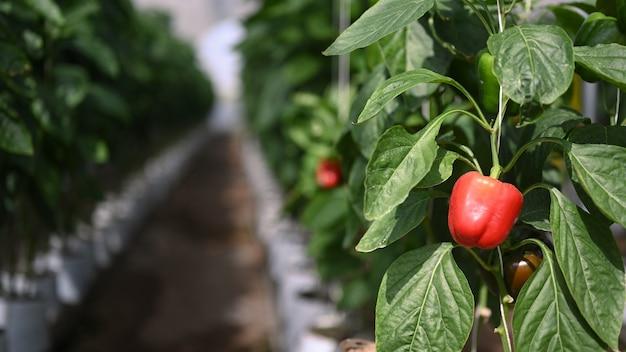 Piccoli peperoni rossi che crescono su una pianta nella serra agricola