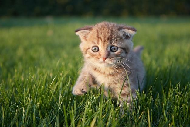 Un piccolo gattino rosso nell'erba verde si siede e guarda nella direzione del fotografo