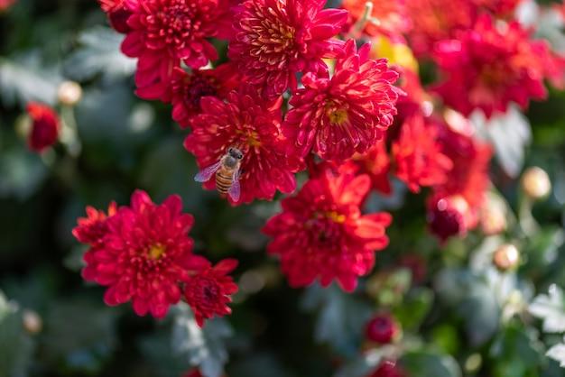 Piccoli crisantemi selvatici rossi nel parco