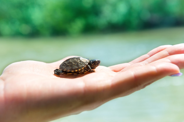Piccola tartaruga marina che striscia sulla mano di una donna con sfondo di acqua blu