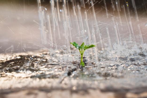 Piccola piantina di irrigazione nell'albero morto di legno e gocce d'acqua che cadono sul nuovo germoglio la sera in giardino