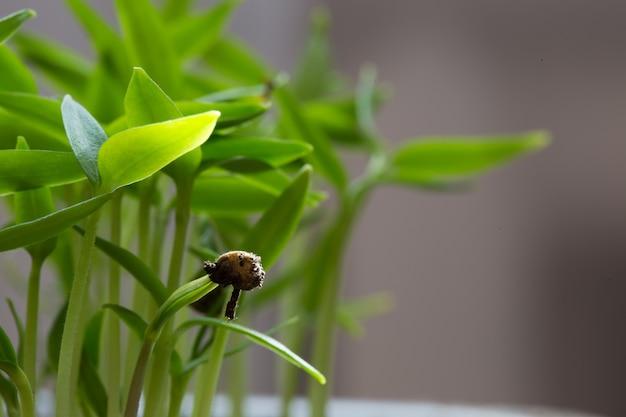 Piccole piantine di lattuga che crescono nel vassoio di coltivazione