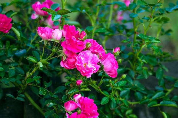 Piccola rosa ad arbusto di colore rosa durante la fioritura nel giardino all'aperto